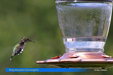 Ruby throated-1.jpg