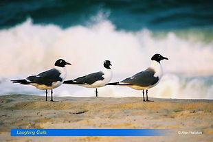 Laughing Gulls.jpg