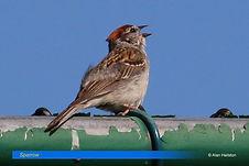 Sparrow-1.jpg