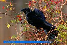 American Crow-2.jpg