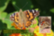 12 PAINTED LADY.jpg
