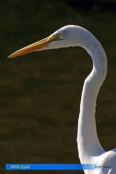 White egret-5.jpg