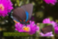 31 GREAT PURPLE HAIRSTREAK.jpg