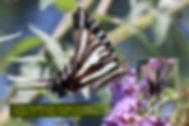 09 ZEBRA SWALLOWTAIL.jpg