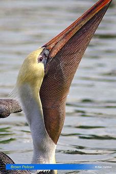 Brown Pelican-3.jpg