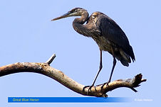 Great Blue Heron-2.jpg