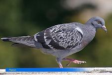 Pigeon-1.jpg
