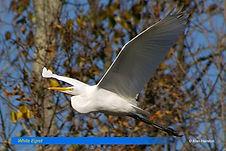 White egret-4.jpg