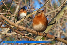 Eastern Bluebirds-1.jpg