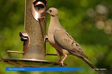 Mourning Dove-3.jpg