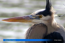 Great Blue Heron-1.jpg