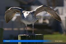 Seagull-6.jpg
