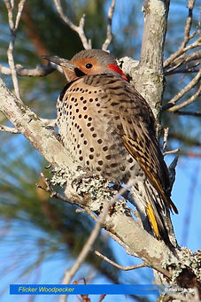 Flicker Woodpecker.jpg