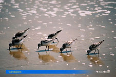 Sandpipers.jpg