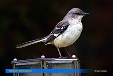 Northern Mockingbird-1.jpg