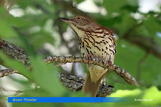 Brown Thrasher-1.jpg