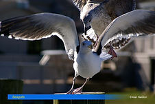 Seagull-7.jpg