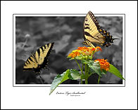 EASTERN TIGER SWALLOWTAIL-1-E.jpg