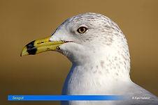 Seagull-2.jpg