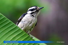 Downy Woodpecker-2.jpg