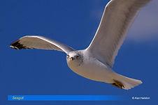 Seagull-5.jpg