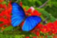59 BLUE MORPHO.jpg