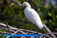 Jamaican Egret.jpg