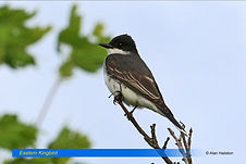 Eastern Kingbird-2.jpg