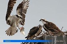 Ospreys-1.jpg