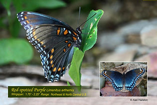 55 RED-SPOTTED PURPLE.jpg