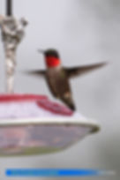 Ruby-throated-4.jpg