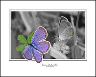 EASTERN TAILED-BLUE-2-E.jpg