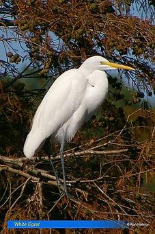 White egret-7.jpg