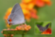 29 GRAY HAIRSTREAK.jpg