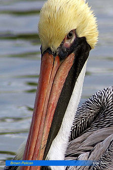Brown Pelican-1.jpg