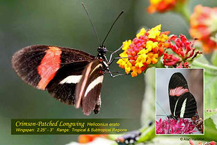64 CRIMSON-PATCHED LONGWING.jpg