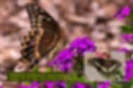 07 PALAMEDES SWALLOWTAIL.jpg