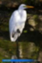 White egret-2.jpg
