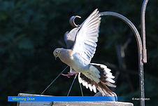 Mourning Dove-2.jpg