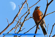 American Robin-4.jpg