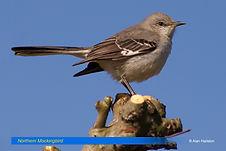 Northern Mockingbird-2.jpg