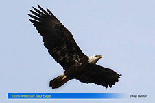 North American Bald Eagle.jpg