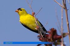 Gold Finch-1.jpg