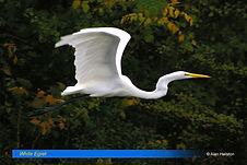 White egret-3.jpg