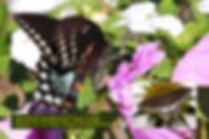 08 SPICEBUSH SWALLOWTAIL.jpg