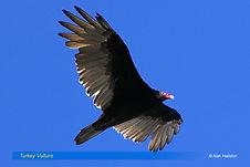Turkey Vulture-2.jpg