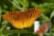 15 GREAT SPANGLED FRITILLARY.jpg