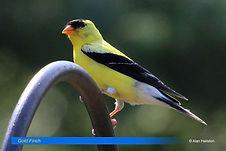 Gold Finch-2.jpg