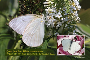 19 GREAT SOUTHERN WHITE.jpg
