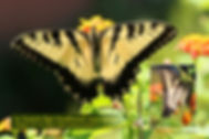 02 EASTERN TIGER SWALLOWTAIL m..jpg